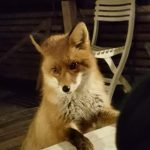 IN PICTURES: This fox can't stop staring through Swedish couple's window