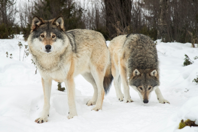 Eight wolves shot on first day of Sweden's hunt