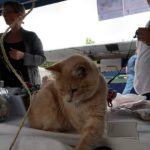 Honey the cat forced to quit veterinary clinic duties