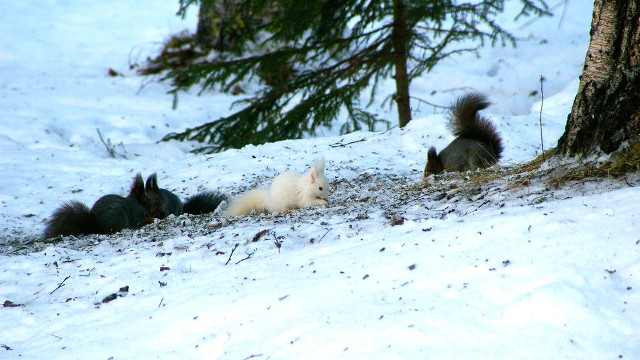 Rare white squirrel photographed in Sweden