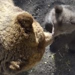 Swedish bears adapt to hunting laws protecting mothers with cubs