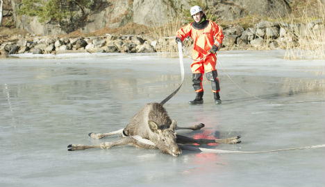 Sunbathing elk give Swedish rescue services a scare