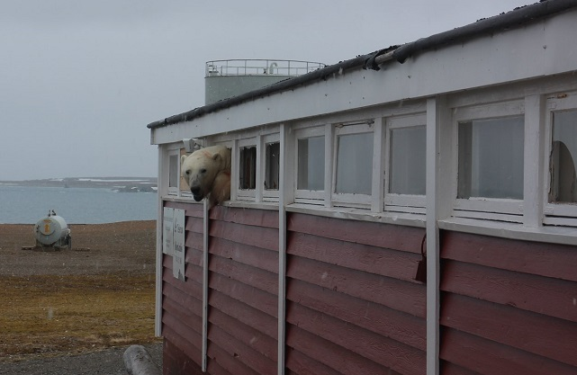 Swede discovers polar bear stuck in Svalbard hotel
