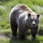 Record number of bears to be killed in Swedish Jämtland
