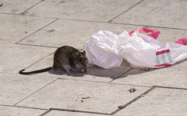 'Keep doors and windows closed': Rats 'the size of cats' spotted in northern Swedish town