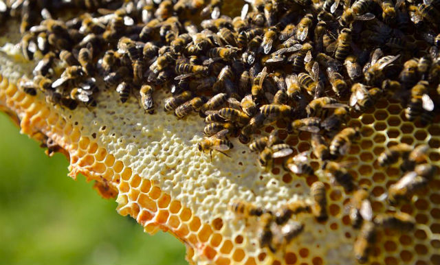 Two million bees stolen from Swedish farmers