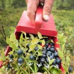 Eight berries and flowers you're free to pick in Sweden's forests