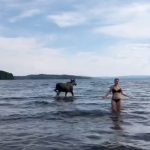 WATCH: Elk takes a dip next to startled beachgoers in Sweden