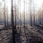 A burned-down forest in Ängra.Photo: Mats Andersson/TT