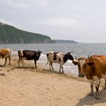 Cows permitted to bathe at Swedish nudist beach