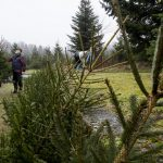 How the long, dry summer has affected Sweden's Christmas trees