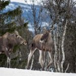 What's got four legs and costs Sweden a billion kronor a year?