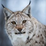 Swedish hunters told they may shoot 67 lynx this year