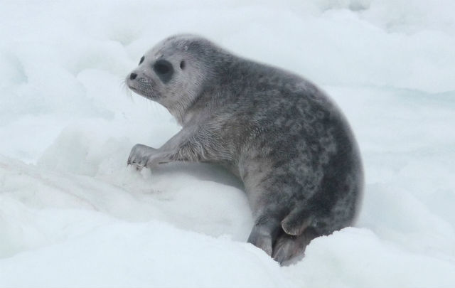 Dramatic decline in sea ice is stopping Baltic seals breeding: report