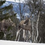 Slow TV project follows Sweden's elk for 450 hours