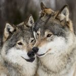 New study reveals the origin of Sweden's wolves