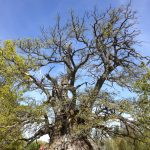 Sweden's 'oldest tree' is on the verge of dying