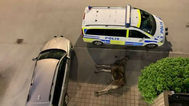 Elk dies after leaping from balcony in Swedish city centre