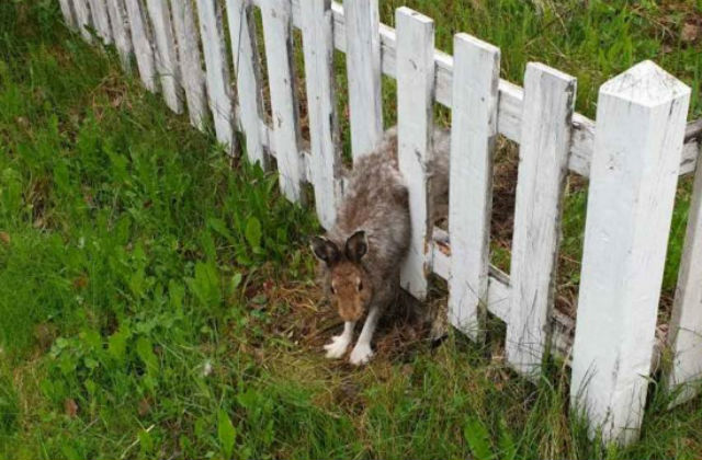 Hare trapped in fence in Sweden after tragic misjudgement