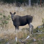 Swedish elk 'fewer and smaller' due to impact of 2018 summer