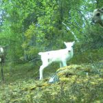 IN PICTURES: Curious animals check out wildlife cameras in Swedish forests