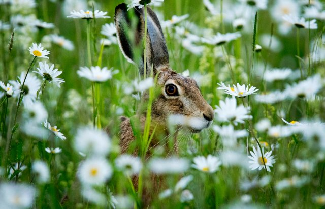 Rabbit fever: Hundreds infected as outbreak grows in Sweden