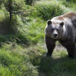 Hunter bitten in head by bear on first day of Swedish cull