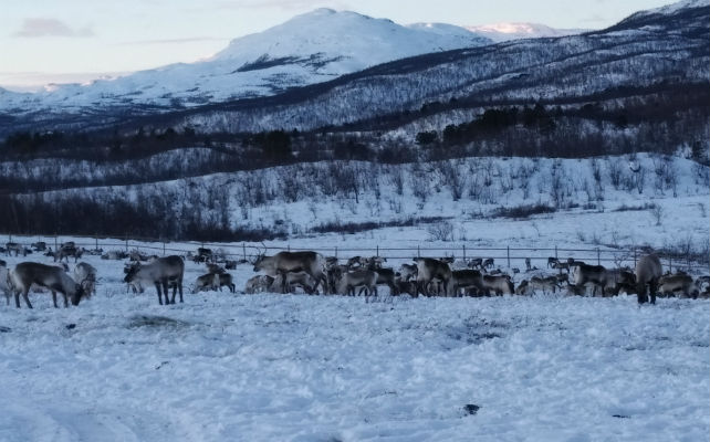 Reindeer herders battle with a changing climate