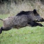 Should Sweden foot the bill for radioactive wild boar?