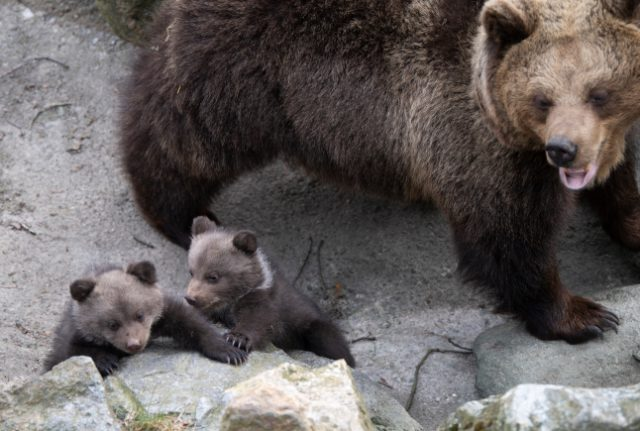 Meet the babies: Stockholm's FIVE new bear cubs make their first public appearance