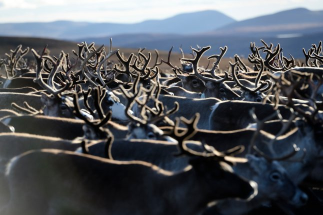 Why more than half of this year's reindeer calves in Sweden have died